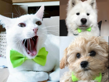 Pets wearing lime green bow ties